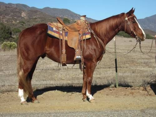Very Gentle and Great Ranch & Kids Horse for Sale - For more information click on image or see ad # 30293 on www.RanchWorldAds.com