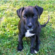 "Boxer Lab mix puppy , I want mine to look like this. ""Boxador"""