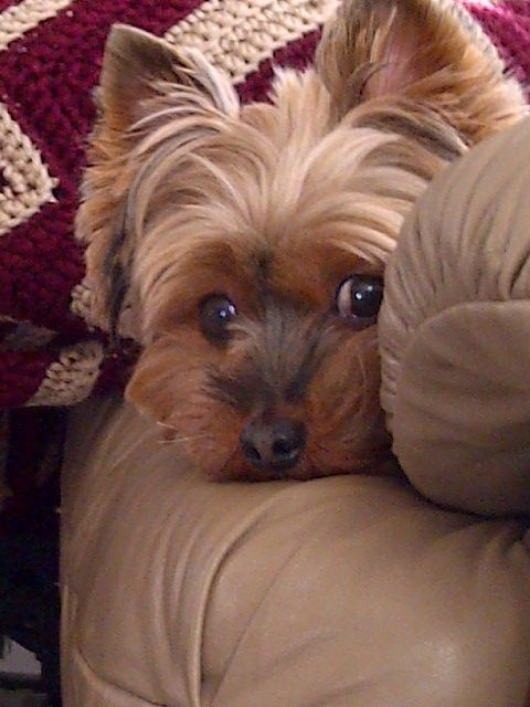 This is my yorkie Otis, he likes to sit in the chair with me.