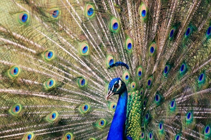 Exquisite Peacock