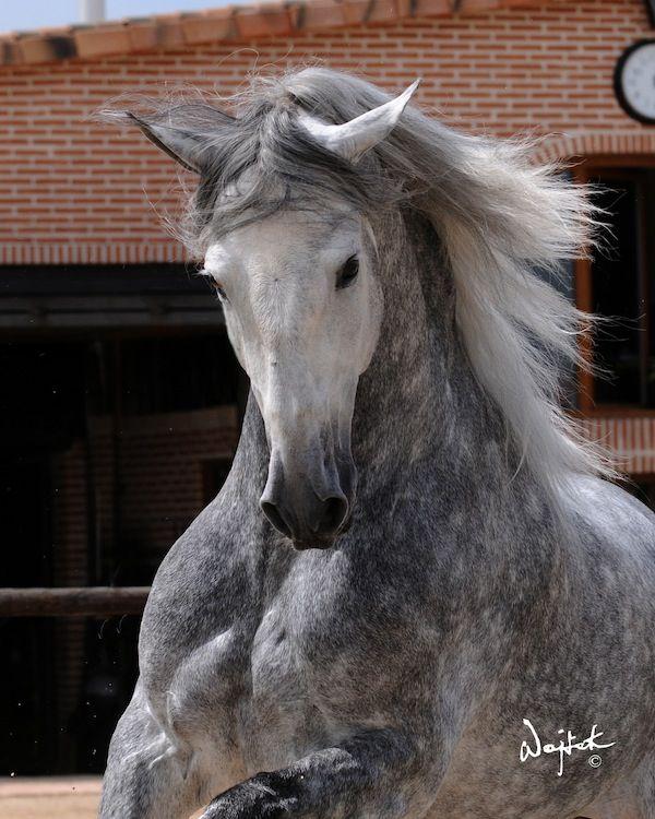 pure spanish horses, andalusian horses | Animals | Pinterest