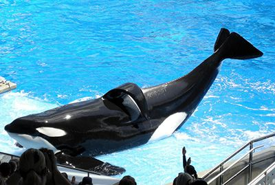 U see that flopped over tail fin that sea world told it is normal for male orcas well guess what? only less than one percent of orcas have that in the wild so stop ur lies! And set the orcas free!!!