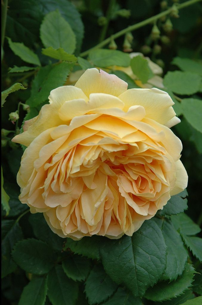 'Golden Celebrations' |  Shrub.  English Rose Collection. Bred by David C. H. Austin (United Kingdom, 1992) | Flickr - © nika_mm