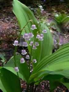 4 Plants Pink Lily of the Valley flowers/Convallaria majalis rosea ADULT by BusyQueen