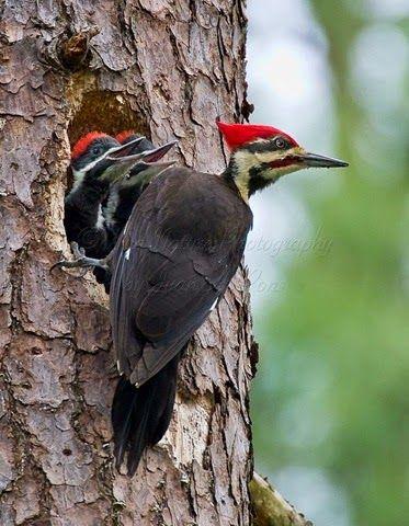 Mengenal Burung Pelatuk , Si Master Burung Paling Mantap | Burung Nusantara