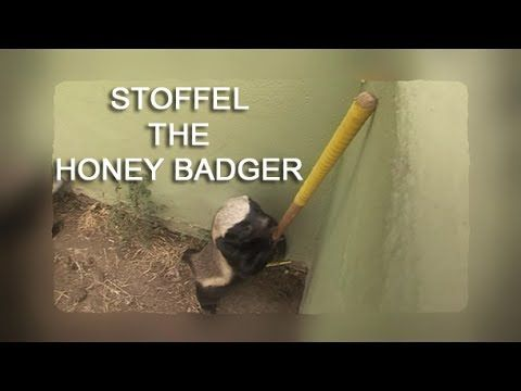 Stoffel the Honey Badger Don't Care [Caught in the Act]