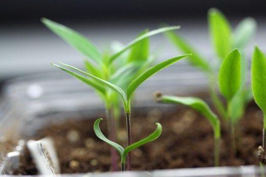 Расчет сроков посева семян овощных культур на рассаду.  Для определения и уточнения даты высева семян на рассаду, можно пользоваться несколькими методами: по результатам агротехнических исследований, методу обратного отсчета, по формуле поправок.
