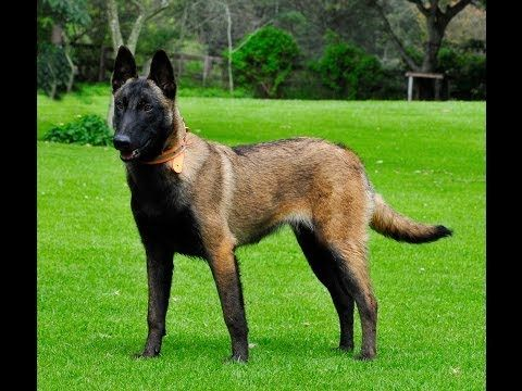 belgian malinois for sale - Bing Images