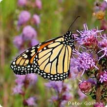 7 Ways to Attract Butterflies to Your Yard ~~Butterflies are attracted to red, orange, pink & purple flowers.~~