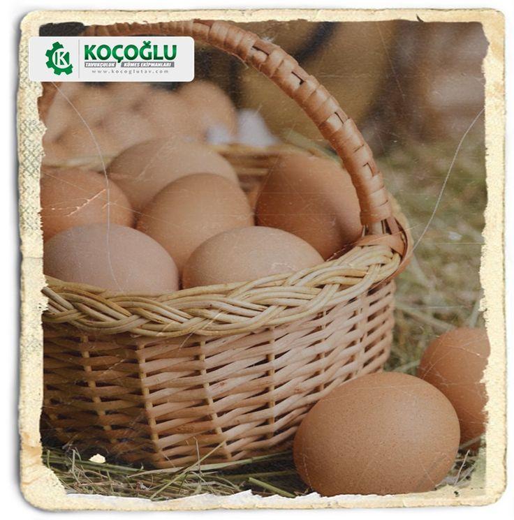 Yumurta tavuğu beslemek için gereken kümes ekipmanlarını koçoğlu tavukçuluk web sayfasında bulabilirsiniz http://www.yarkaburada.com