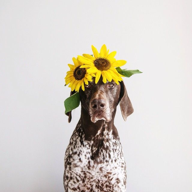 ifitwags:  Travis  #flowerpower  ______________________ We now have two calendars available! I'm curious which one you prefer?  Link in my profile  proceeds will be donated to saving spotty dogs!