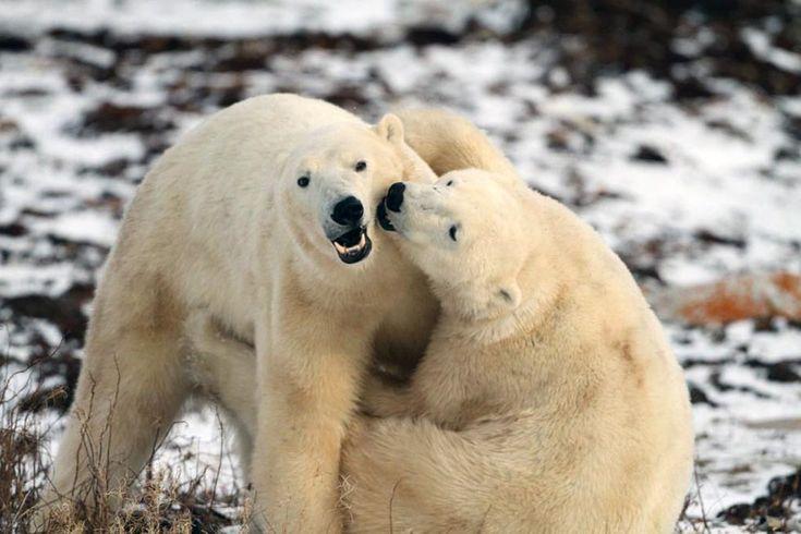 Orsi polari fotografati con una webcam da Explore.org nella baia di Hudson, nella provincia canadese di Manitoba. (AP Photo/Explore.org)