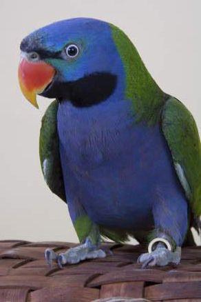 Blue Parrot.