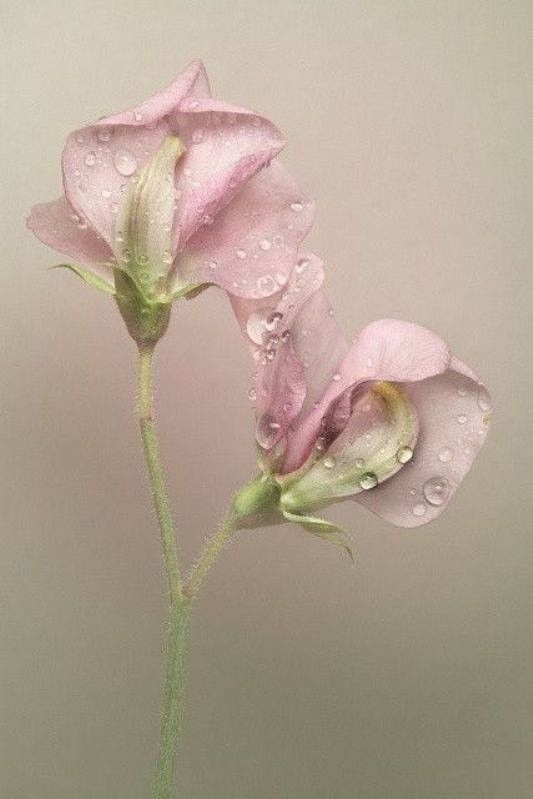 Pink Sweet Pea Flower by Eby Arts