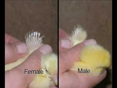 How do you tell the sex of a chicken above