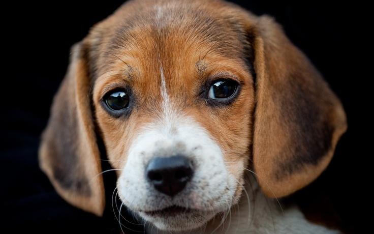 animals dogs puppies beagle  / 2560x1600 Wallpaper