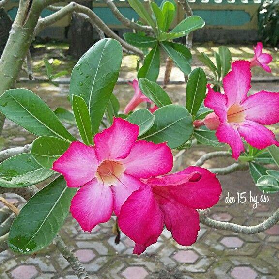 Adenium pink