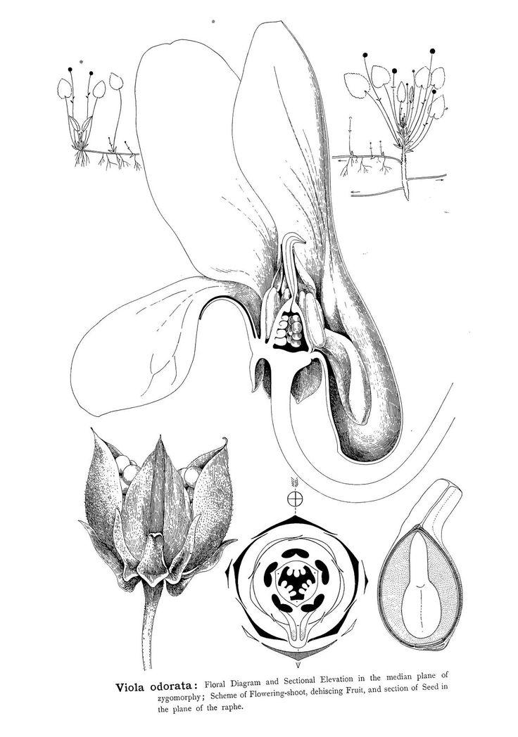 49 best Botanica, Arthur Harry Church images on Pinterest