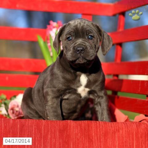 Cane Corso (Italian Mastiff) Puppy for Sale in Pennsylvania