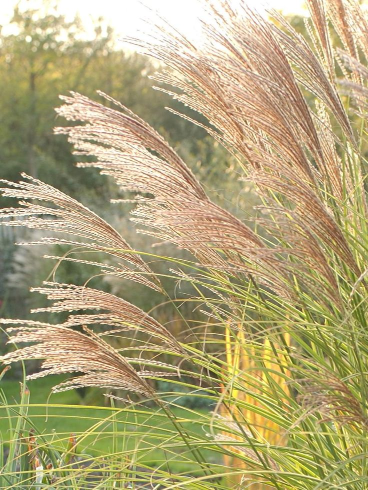 My favorite - Morning Light Miscanthus - HGTV Gardens presents flowers, grasses and trees with spectacular fall colors.