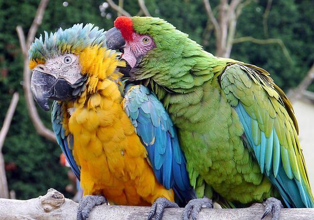 Proč si váš papoušek vytrhává peří? Chybu hledejte u sebe!