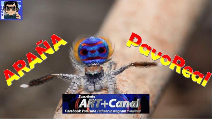 Araña PavoReal Australiana