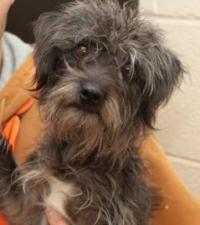 Lily - Schnauzer pet adoption in Scranton PA #dogadoption