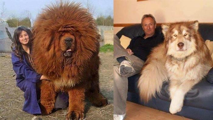 10 Anjing Ini Akan Bikin Melongo Karena Ukurannya yang Sangat Besar!