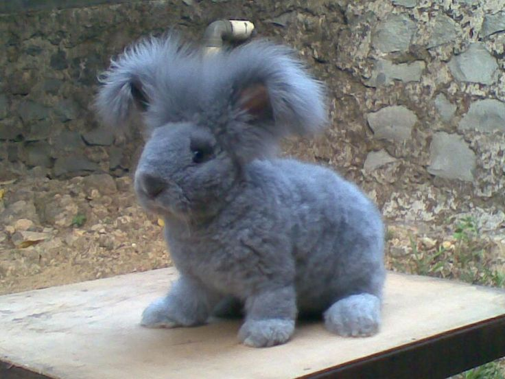 Cuter than cute! Shaved Blue Angora Rabbit