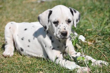 Cute little dalmatian puppy for sale. Lilly is a sweetheart!