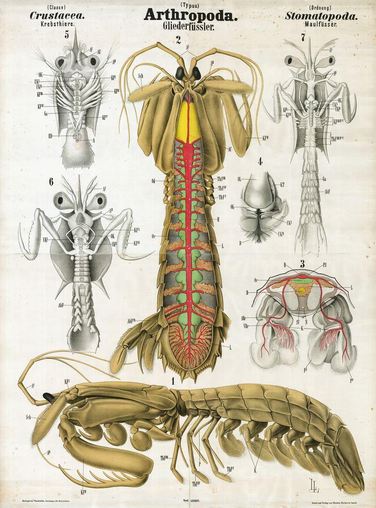 34 best Mantis shrimp images on Pinterest | Mantis shrimp, Insects ...