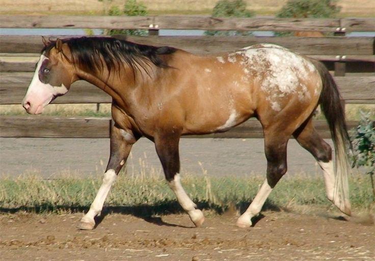 Cayuse Bradford - Australia - Appaloosa, Sportaloosa, Knabstrupper & appaloosa spotted stallions at stud in Australia, New Zealand & the world