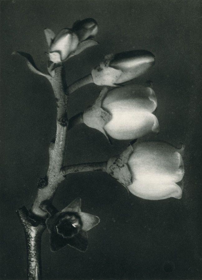 Karl Blossfeldt, Vaccinium corymbosum (Blueberry) , © Karl Blossfeldt Archiv / Stiftung Ann und Jürgen Wilde, Pinakothek der Moderne, München