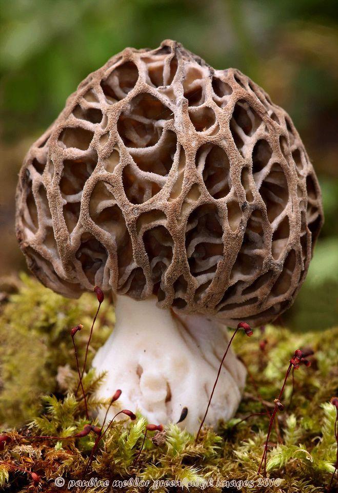 Morchella esculenta var. vulgaris ~ © Pauline and Ian Wildlife Images - Cool Nature