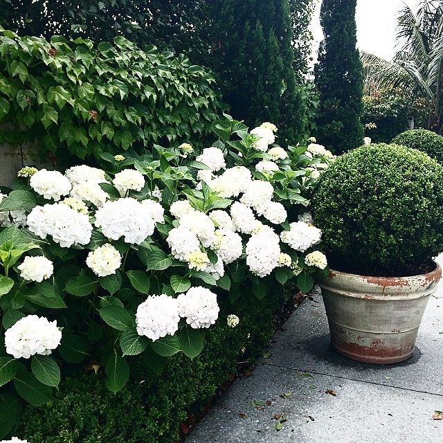 white hydrangeas + clipped boxwood