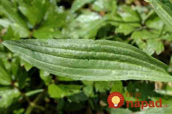 Plantago.lanceolata4