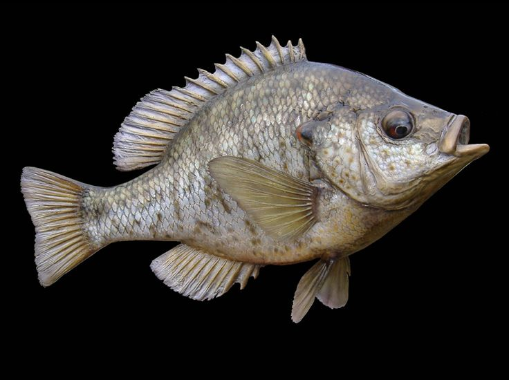 46 best fish found in ohio images on pinterest fishing for Ohio state fish
