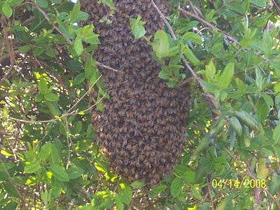 Little Creek Bee Ranch: How To Catch A Hanging Swarm Of Honey Bees!