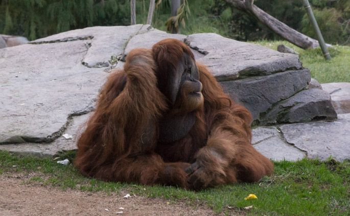 Orang outan - Zoo de San Diego www.maathiildee.com