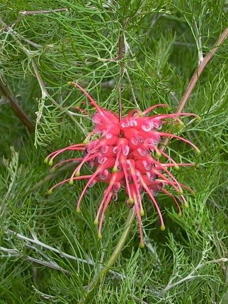 http://www.australisplants.com.au/ornamentals/images/grafted/grevilleaEllendale1.jpg