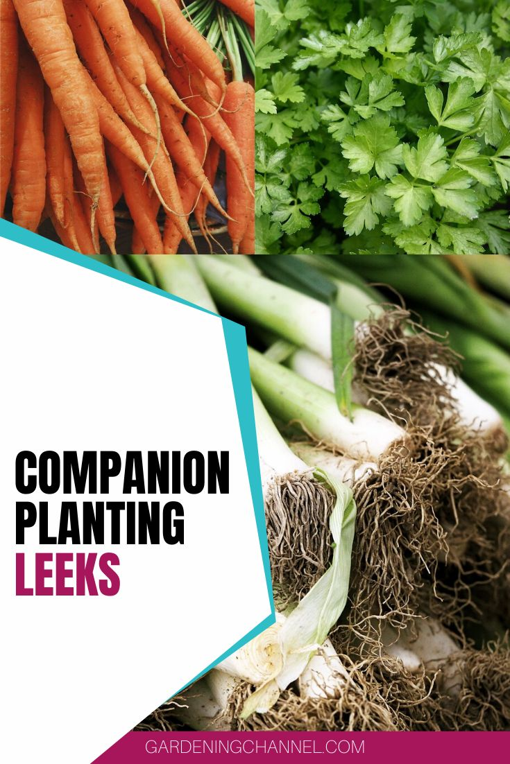 What can I plant with leeks?#leeks #plant in 2020 ... Leek Companion Plants