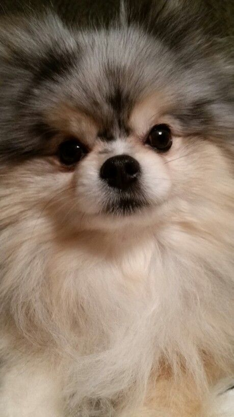 Cutest Pomeranian (Bella). Not mine but my Pom is named Isabella (Izzy, Bella, Bells, Izzer B, etc. The mother of Poms has many titles lololol)