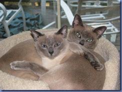 Tonkinese cats!  Ming & Maximus