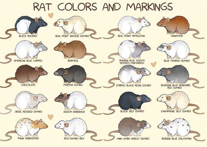 """Spiffy Pet Care Tips... """"Rat fur colors and markings.""""  Informative. It could come in handy some day (you never know)."""
