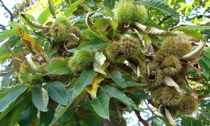 Il castagno (castanea vesca) è un albero della famiglia delle Fagacee, alto solitamente 10-15 metri, ma capace di raggiungere anche i 30 metri di altezza...