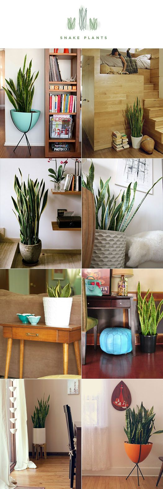 The snake plant: tolerant of low light levels and irregular watering. As a matter of fact, during winter it only needs to be watered every couple of months! And NASA found the snake plant to be one of the best plants for improving indoor air quality.