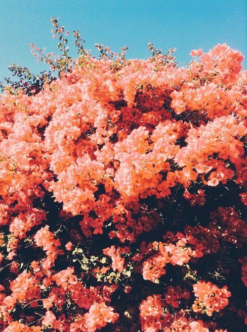 bougainvillier orange