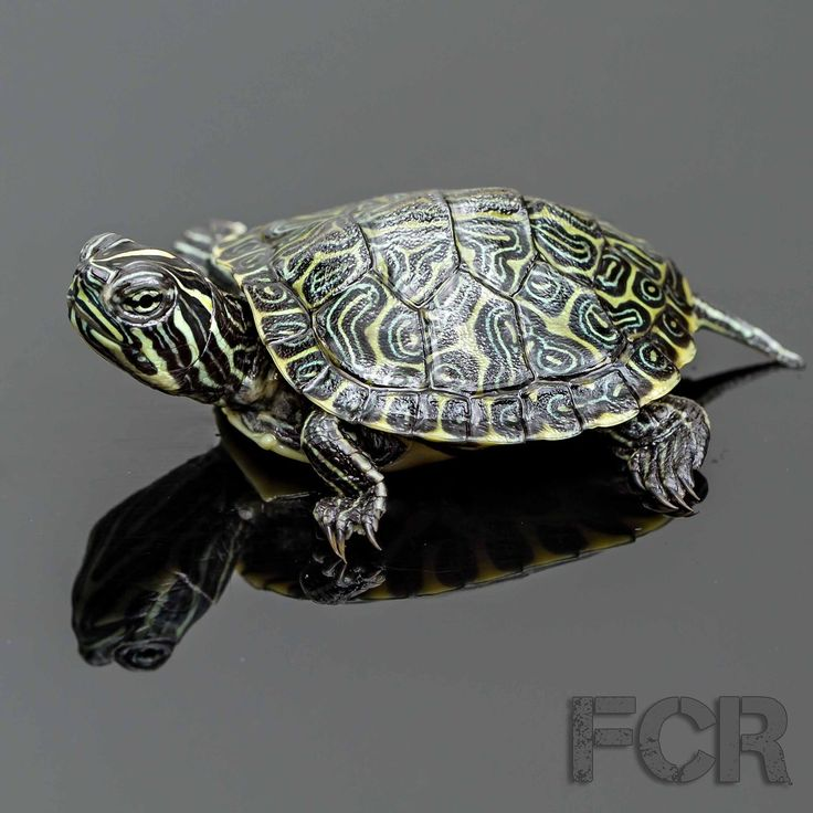First Choice Reptiles - CB Baby Florida Red Bellied Turtle For Sale, $15.00 (http://www.firstchoicereptiles.com/cb-baby-florida-red-bellied-turtle-for-sale/)