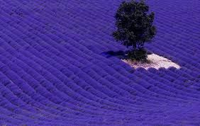 Image result for lavender fields