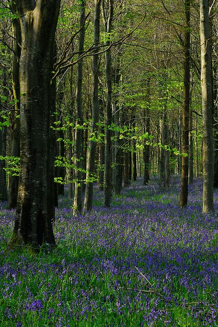 251 Best Images About Bluebell Woods On Pinterest